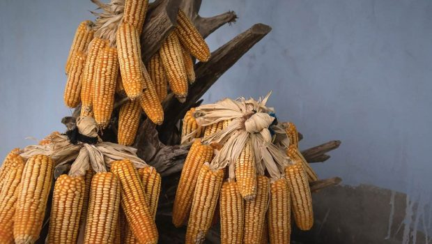 yellow-corns-on-brown-tree-branch-2131901